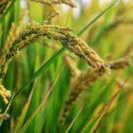 Uprawa roślin – ryż