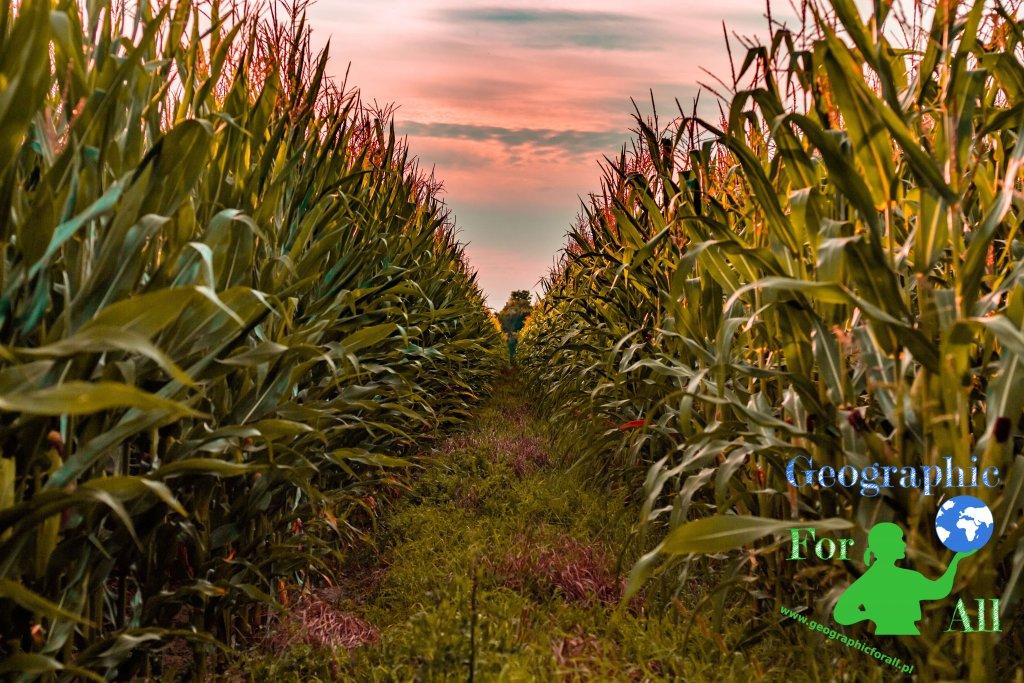 uprawa roślin - kukurydza, pole kukurydzy, źródło pixabay, autor: TheArkow Licencja: CC0