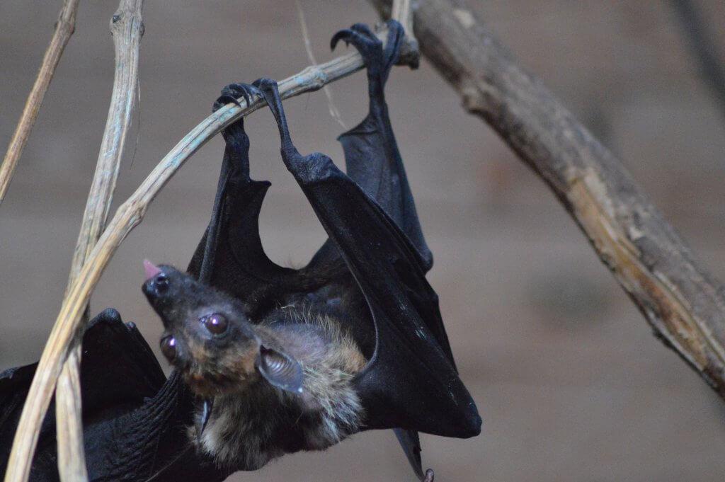 Dlaczego niektóre zwierzęta hibernują? Nietoperz