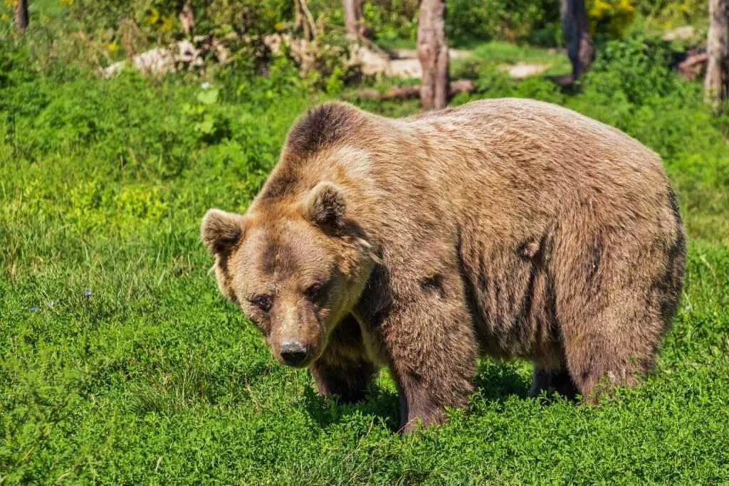 Dlaczego niektóre zwierzęta hibernują? niedźwiedź brunatny