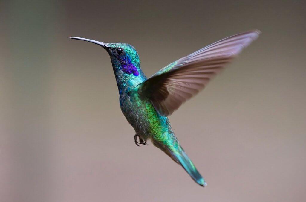 Dlaczego niektóre zwierzęta hibernują? Koliber