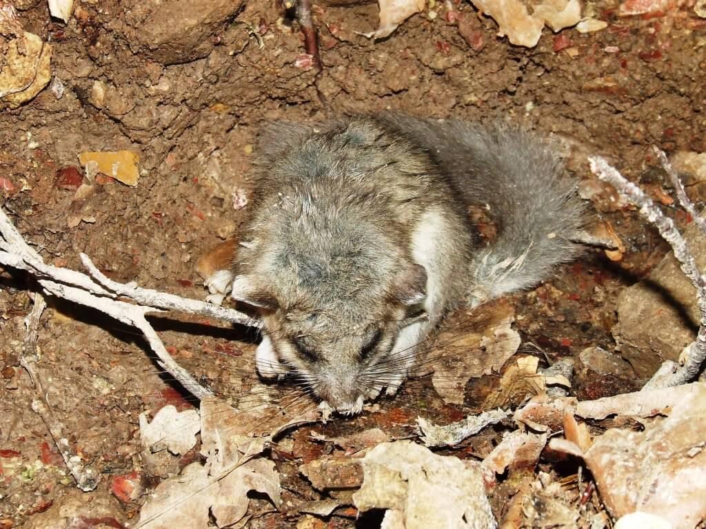 Dlaczego niektóre zwierzęta hibernują? Koszatka