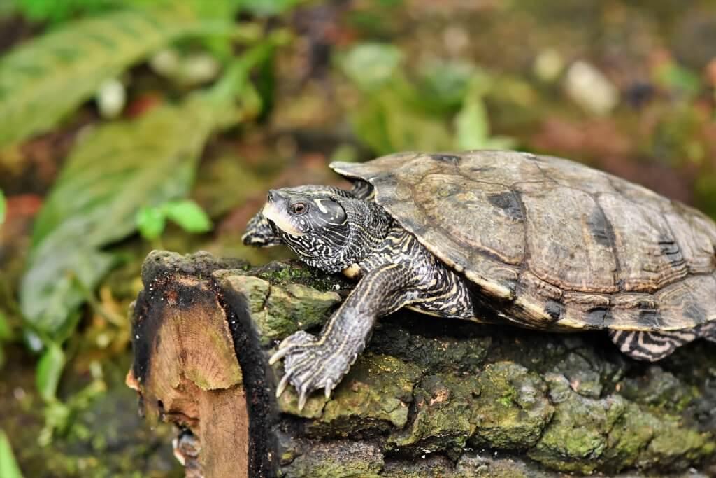 Dlaczego niektóre zwierzęta hibernują? Żółw