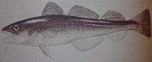 Rys.1. Dorsz źródło opracowanie własne na podstawie Rudnicki Andrzej, Ryby wód polskich atlas WSiP